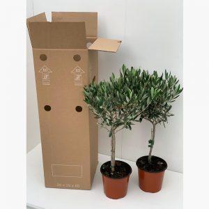 Alberi d'Olivo 2 piante