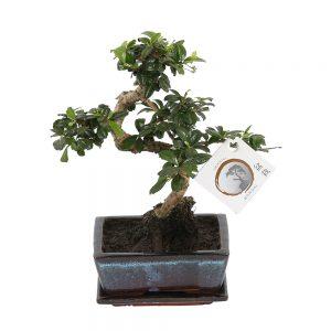 Bonsai 'Carmona macr.' in ø15cm Ceramic - S-Shape with Saucer