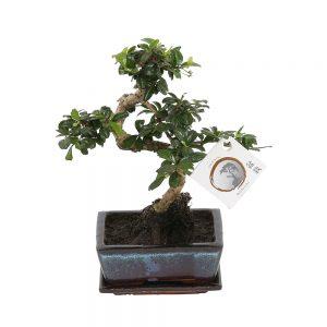 Bonsai 'Carmona macr.' in ø40cm Ceramic - S-Shape with Saucer