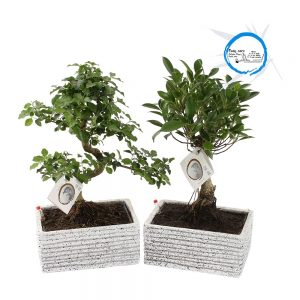 Bonsai cv. Easy Care pot ø15cm in ø22cm Granite look Ceramic