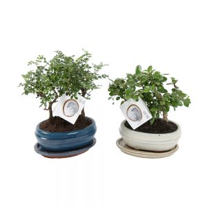Bonsai Mix forest in 16cm ceramic with saucer