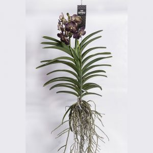 Vanda Chocolate Brown