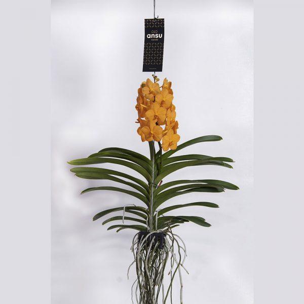Vanda Princess Orange