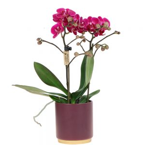 Mini orchidee violet in gold foot violet pot