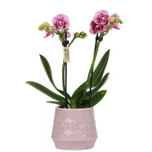 Exclusive pink in Bohemian pink pot