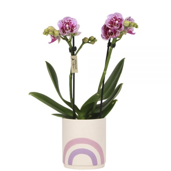 Exclusive pink rainbow pink pot