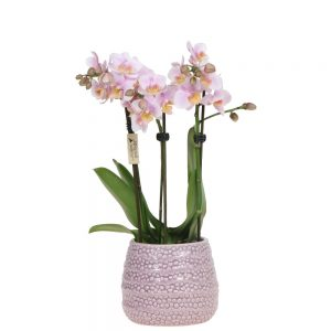 Mini orchidee pink in dots pot
